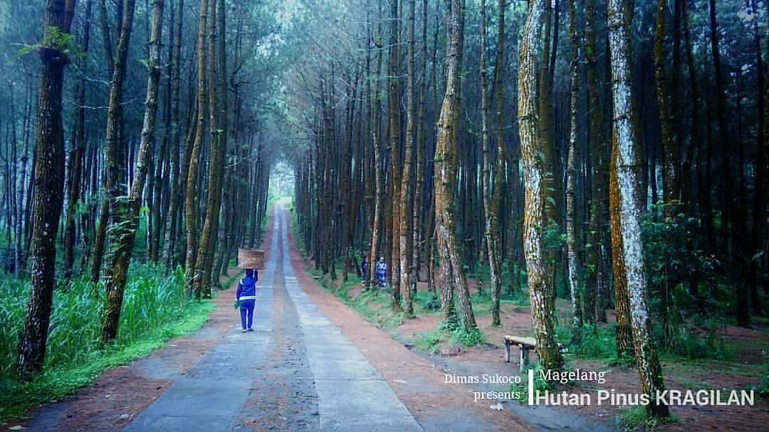 Hutan Pinus Kragilan Magelang Keindahan Hutan Pinus Di